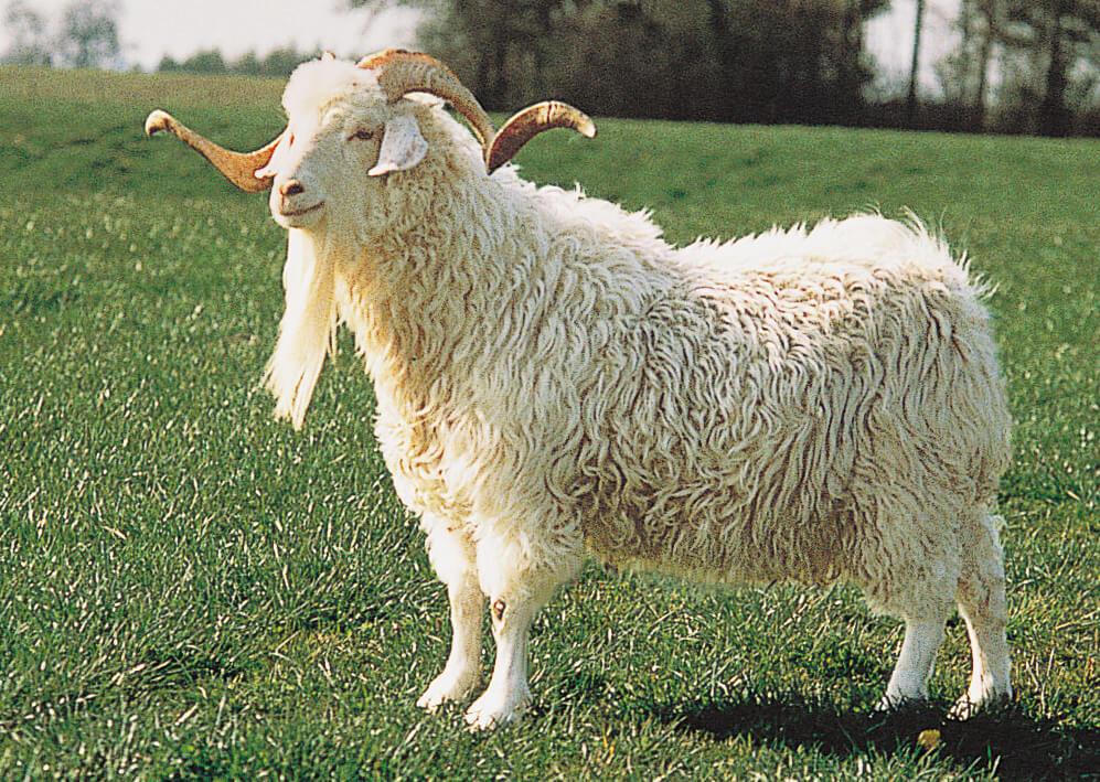 mohair-wool-angora-goat
