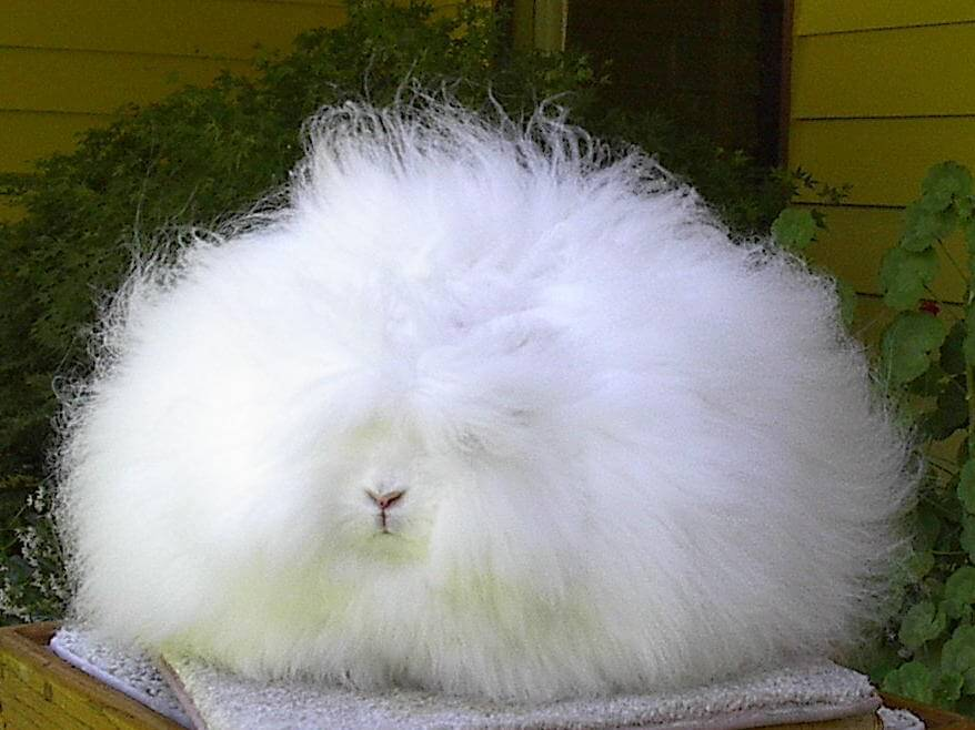 Angora wool can only be spun from the hair of Angora rabbit while yarn ...