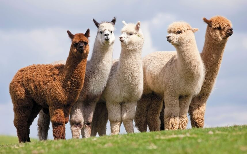 Alpaca Fleece     the ...