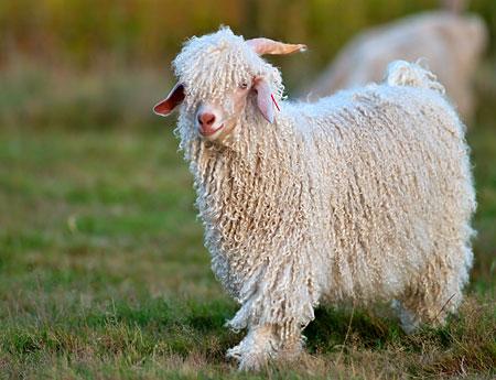 What is mohair wool - WoolMe